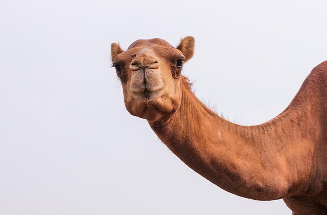 A sua empresa é Camelo